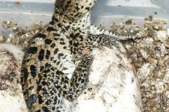 03 Alfa kubánský krokodýl[1]