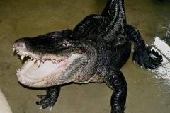 09 Severoamerický aligátor[1]