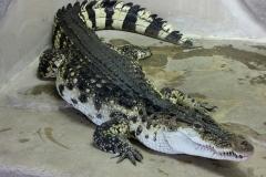 11 Krokodýl Filipínský[1]