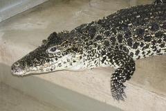 12 Krokodýl Kubánský[1]