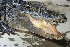13 Krokodýl siamský[1]