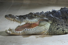 16 Krokodýl americký[1]