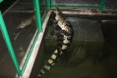 4 Páření krokodýlů filipínských