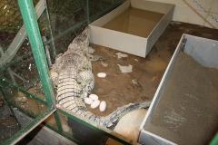 5 Kladení vajec samice krokodýla filipínského