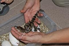 09 Právě vyklubaný krokodýl siamský z vajíčka