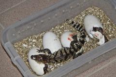 10 Líhnoucí se vajíčka krokodýlů siamských 24. července 2012