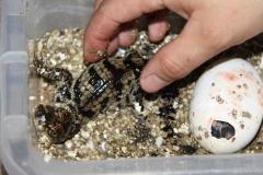 12 Právě narozené mládě krokodýla siamského 24. července 2012