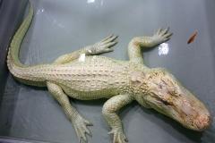 Bílý aligátor Waldemar v teráriu se zlatou rybkou ze křtu (foto Alena Slováková)_low[2]